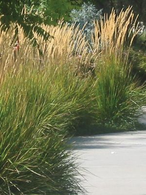 All Stars Plant Search Detail Page Feather Reed Grass Plants California Native Plants