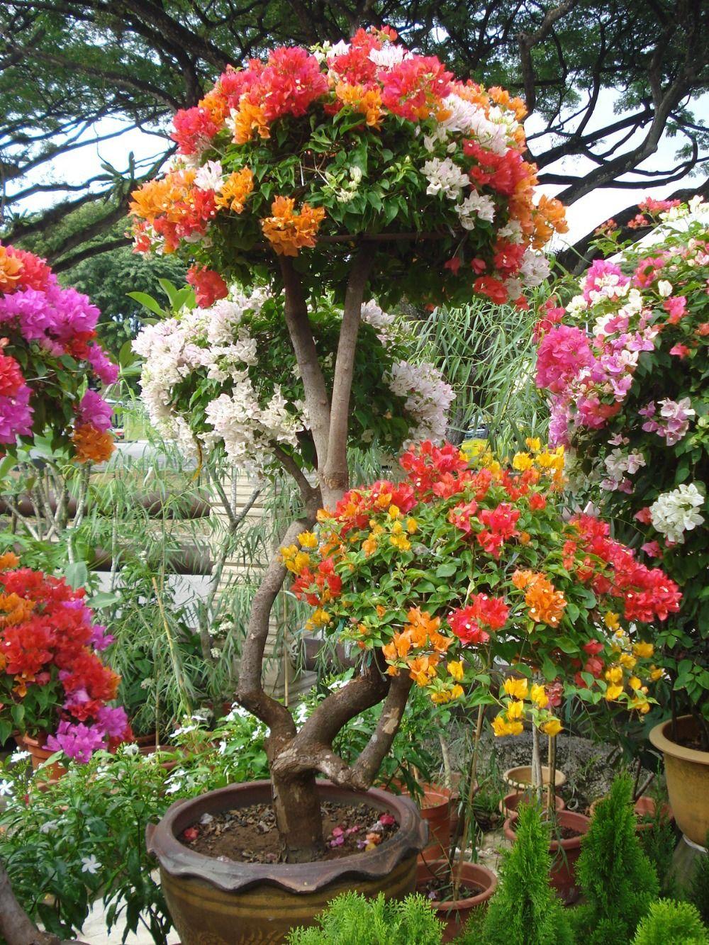 Free Shipping 10pcs Mix-color \'Bougainvillea Spectabilis Willd ...