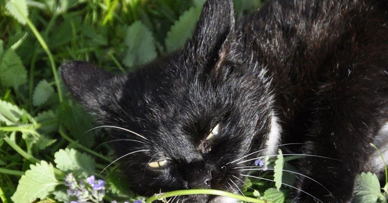 It's Not Just Catnip Olfactory Enrichment for Cats Cats