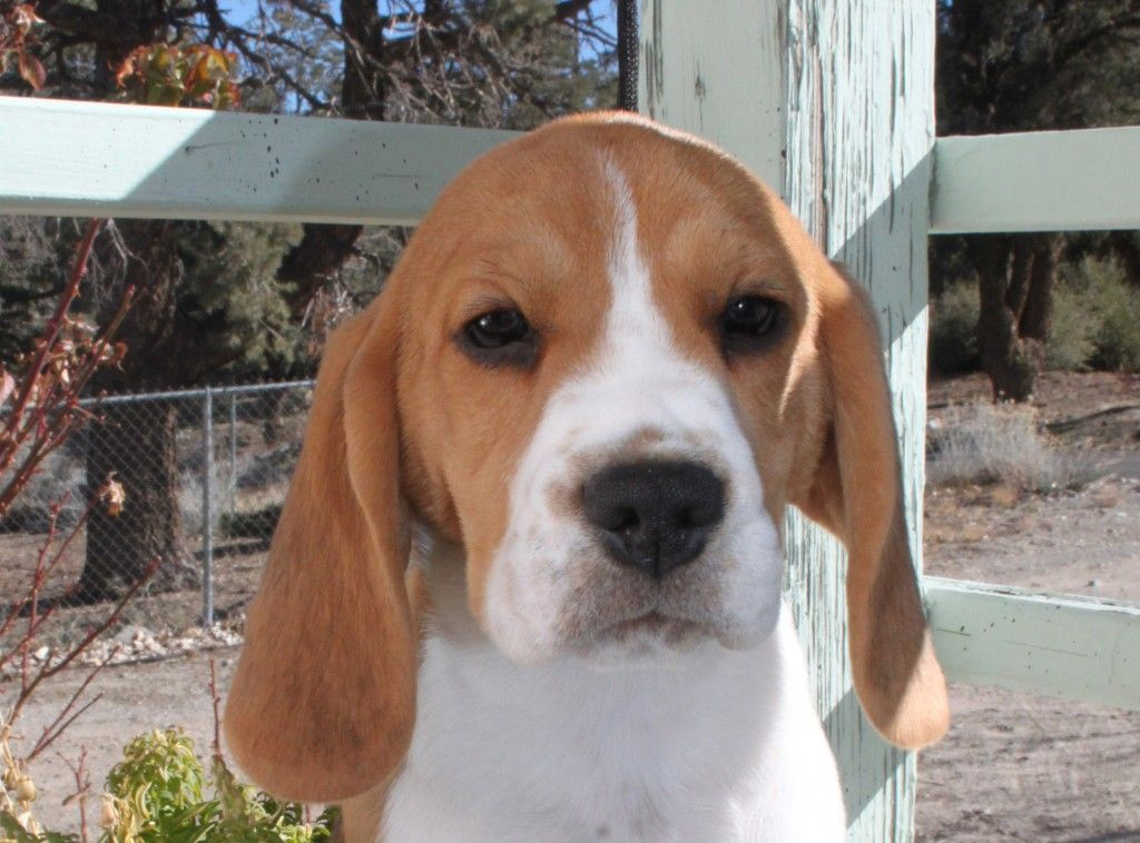 Jadestone beagles is producing champion show quality