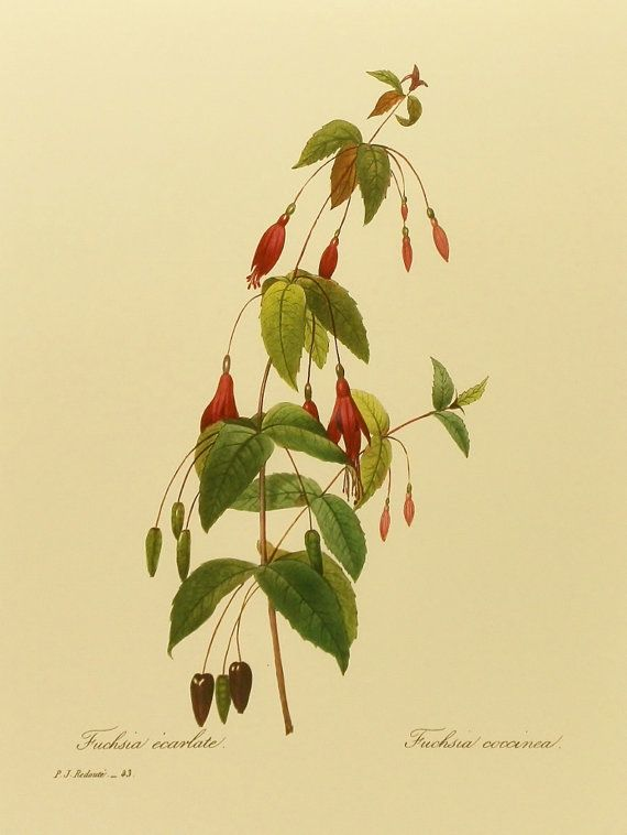 Bleeding Heart Flower Print Fuchsia By Paragonvintageprints 5 00 Cicek