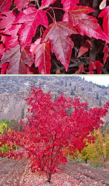 Flame Amur Maple Acer Ginnala Flame Tree Seeds Fall Color Hardy Bonsai Tree Seeds Bonsai Seeds Amur Maple