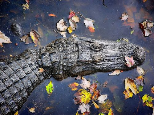 gator by L Galloway2011 on Flickr.