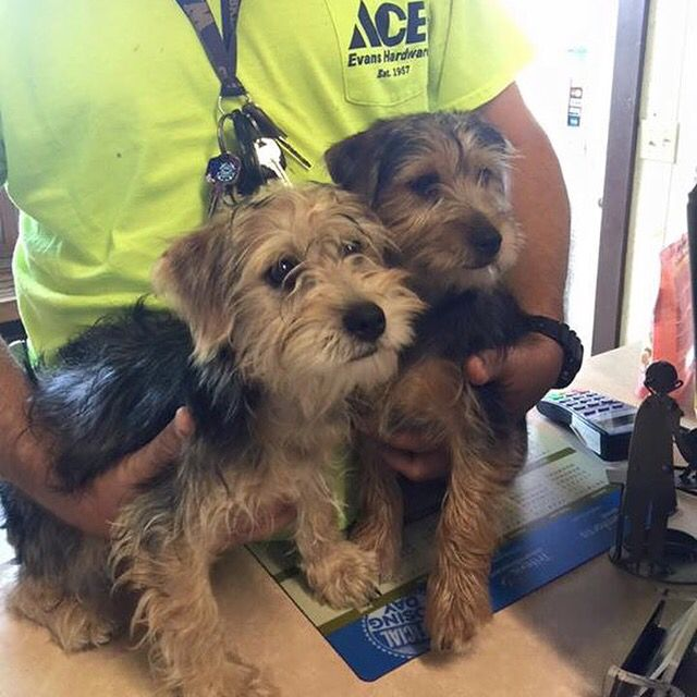 Founddog 11 16 15 Ocala Fl Yorkshire Terriers 2 16w M Jumper Creek Veterinary Clinic Https Www Facebook Com G Losing A Dog Find Pets Yorkshire Terrier