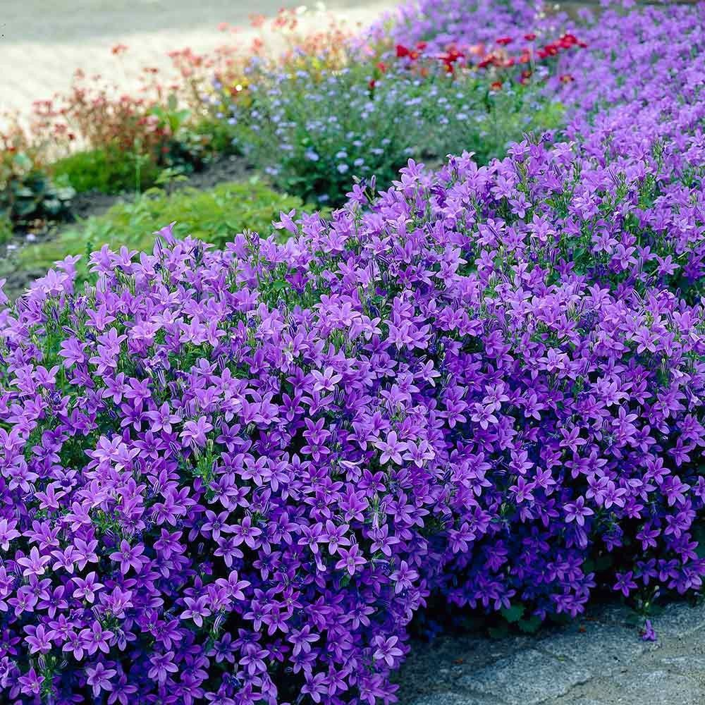 A rapid spreading perpetual flowering ground cover vivid blue a rapid spreading perpetual flowering ground cover vivid blue plant height 15cm izmirmasajfo Images