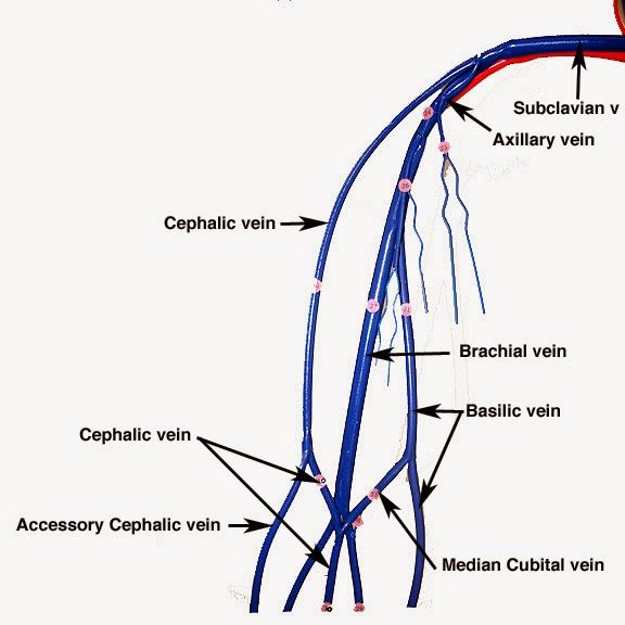 Anatomy Organ Pictures Left Basilic Vein Pictures Collection