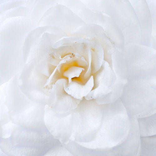 The Secret Meanings Behind Your 30 Favorite Flowers Flower Meanings White Camellia Flowers