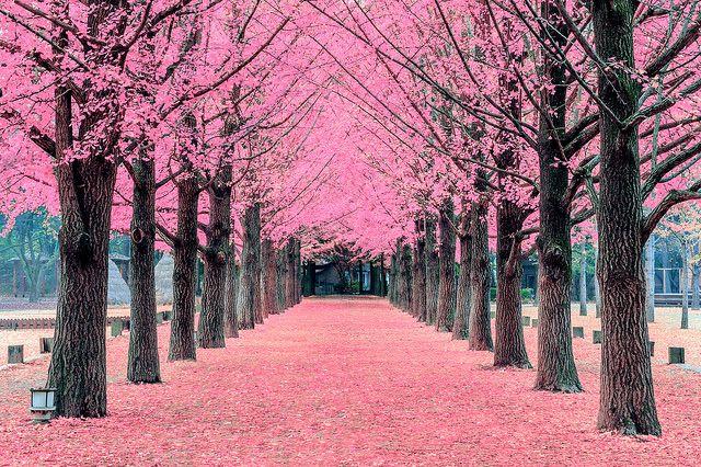 Pink Tree Nami Island In Korea Pink Trees Blossom Trees Nami Island