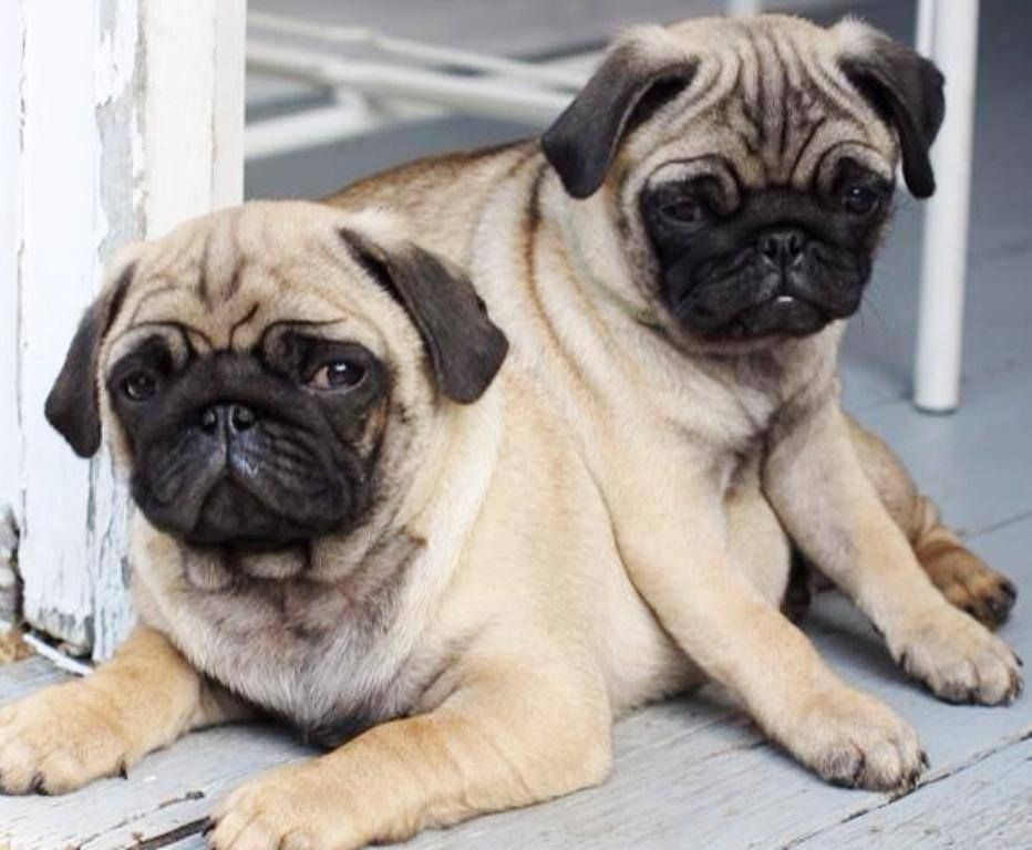 Pug Buddies Cute Dogs And Puppies Pugs