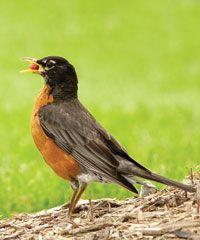 Robins Education Wild Birds Unlimited Bird Silhouette Art Bird Silhouette