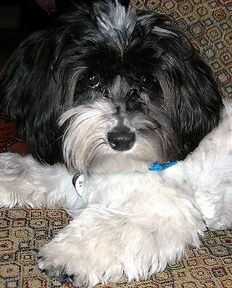 The Havanese Loves To Watch The Globe From Up Higher And Can Find His Way Onto The Backs Of Sofas And Tables To Watch Havanese Havanese Puppies Havanese Dogs