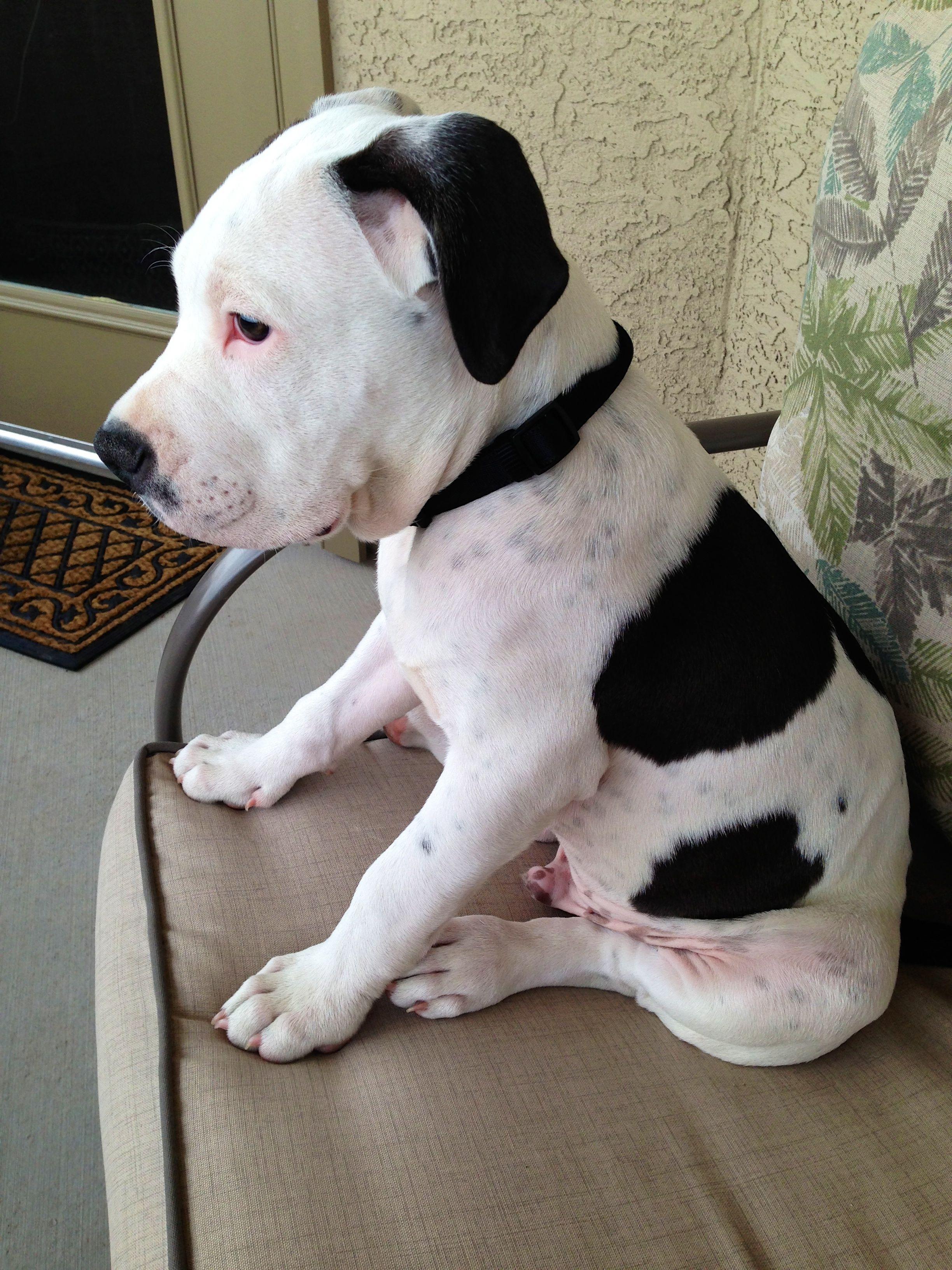 My Pitbull Puppy Tyson 3 3 Months Pitbull Dog Pitbulls Dog Mom