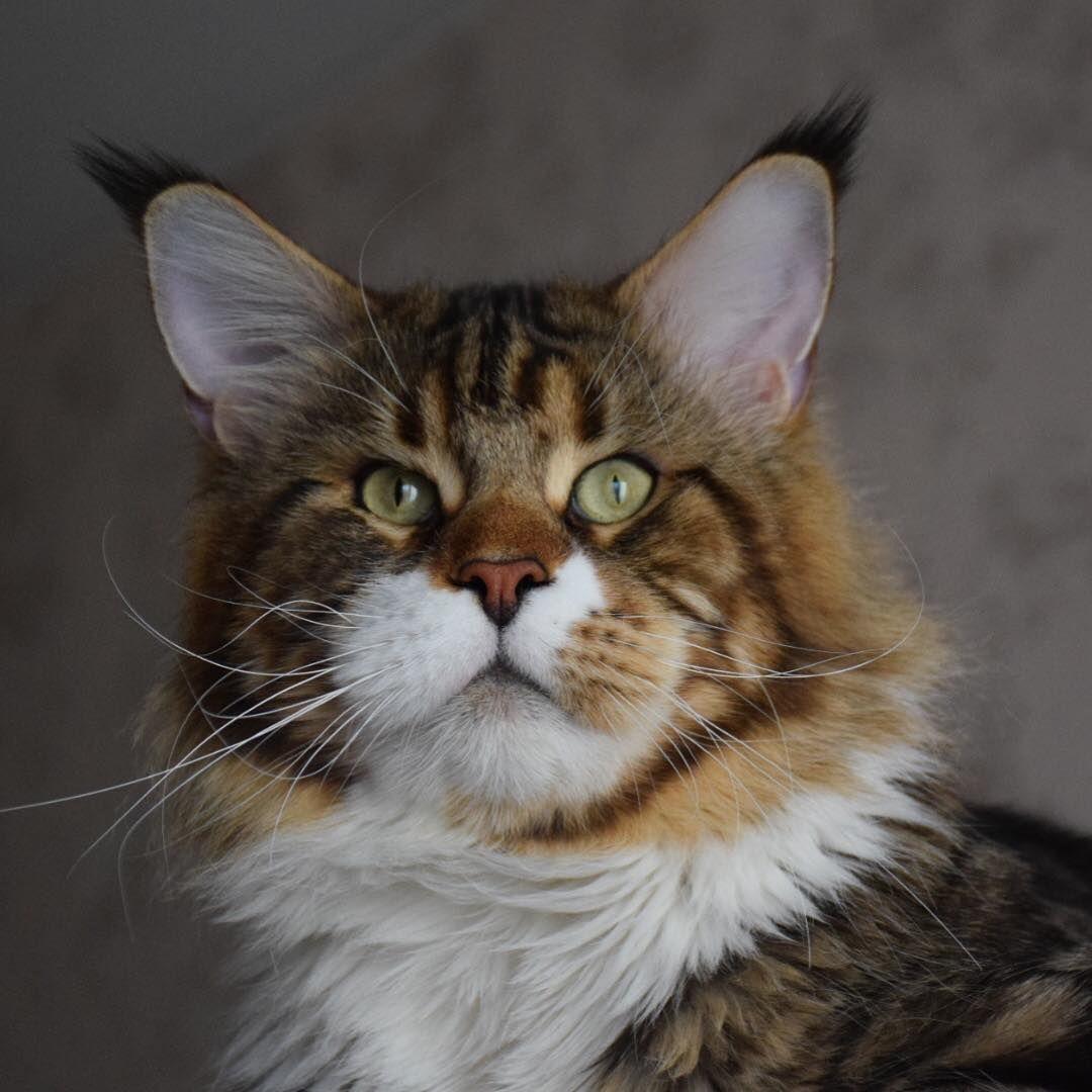 Épinglé sur Maine Coon Cats