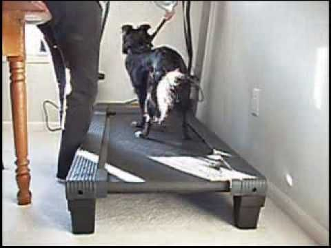 Dog Treadmill Training Johann Learns To Use The Treadmill Dog