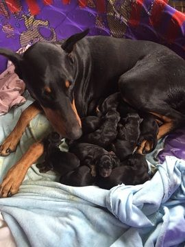 Doberman Pinscher Puppy For Sale In Des Plaines Il Adn 22770 On