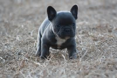 French Bulldog Puppy For Sale In Miami Fl Adn 28451 On