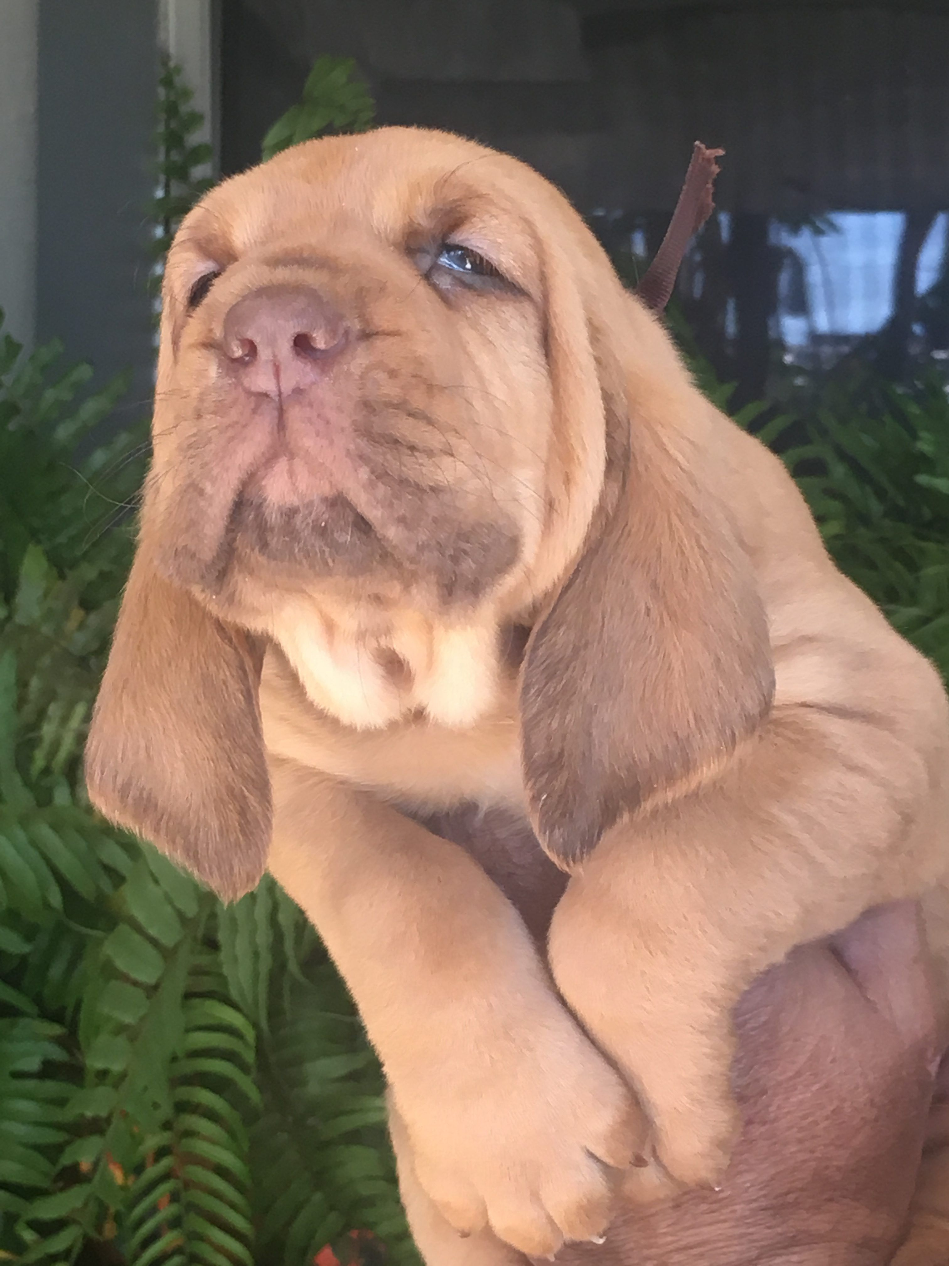 Brown An Akc Bloodhound Puppy For Sale From Houston Tx Find Cute Bloodhound Puppies And Responsible Bloo Bloodhound Puppies Puppies Labrador Puppy Training