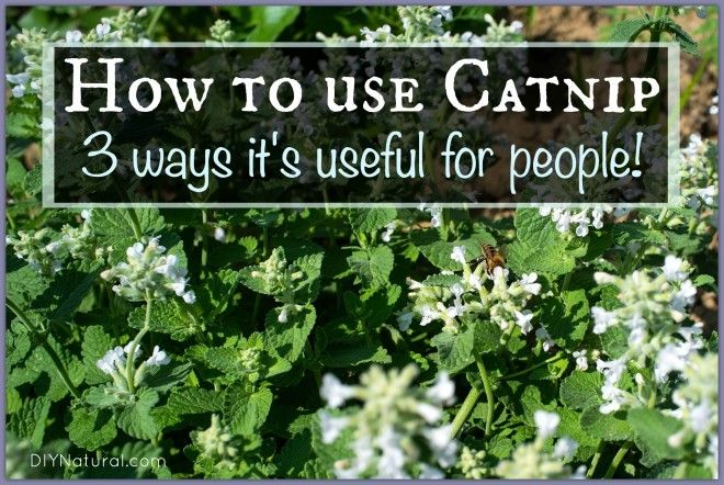 How To Use Catnip on Humans Herbs, Herbal plants, Herbalism
