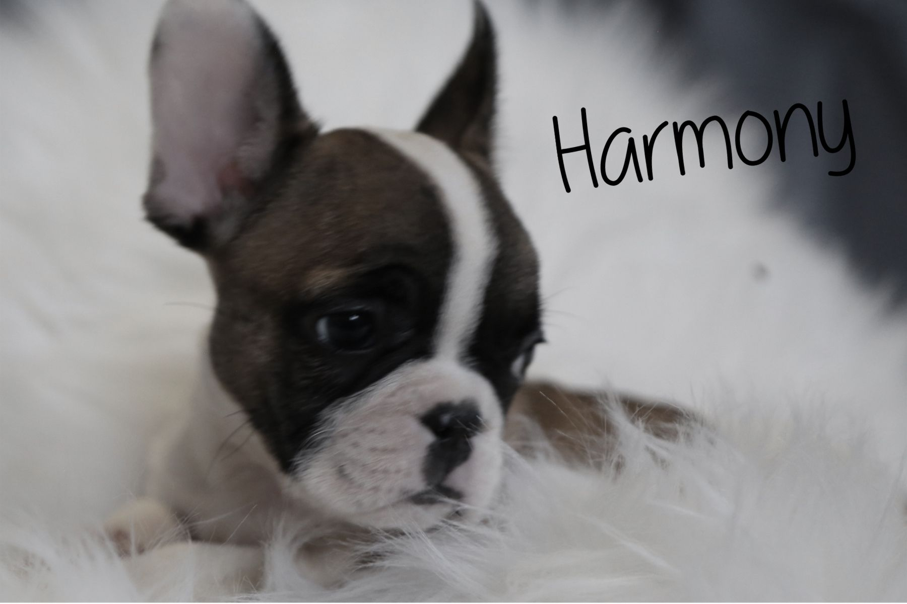 Harmony Female French Bulldog Puppy from Ewing, Illinois