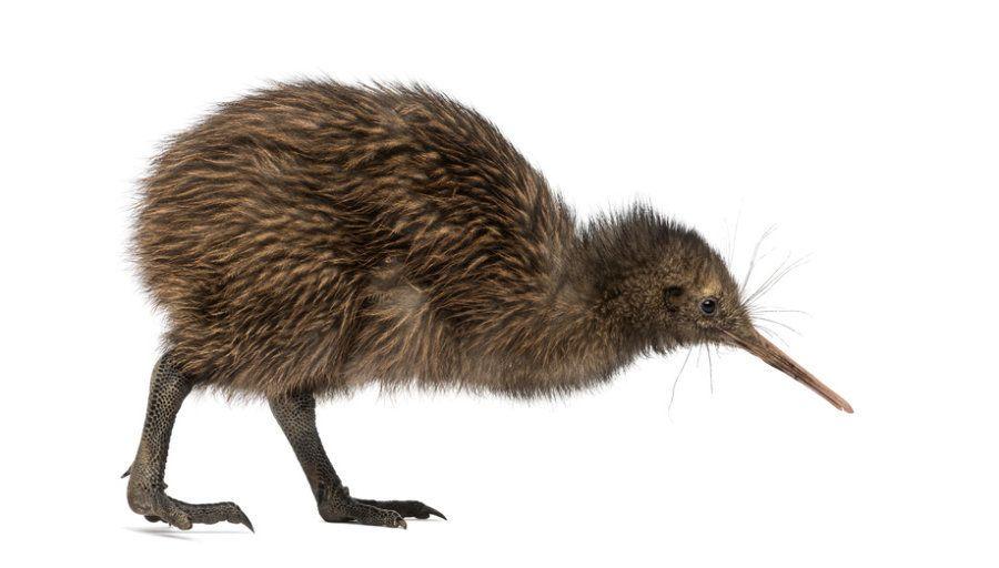 kiwi bird - Google-haku