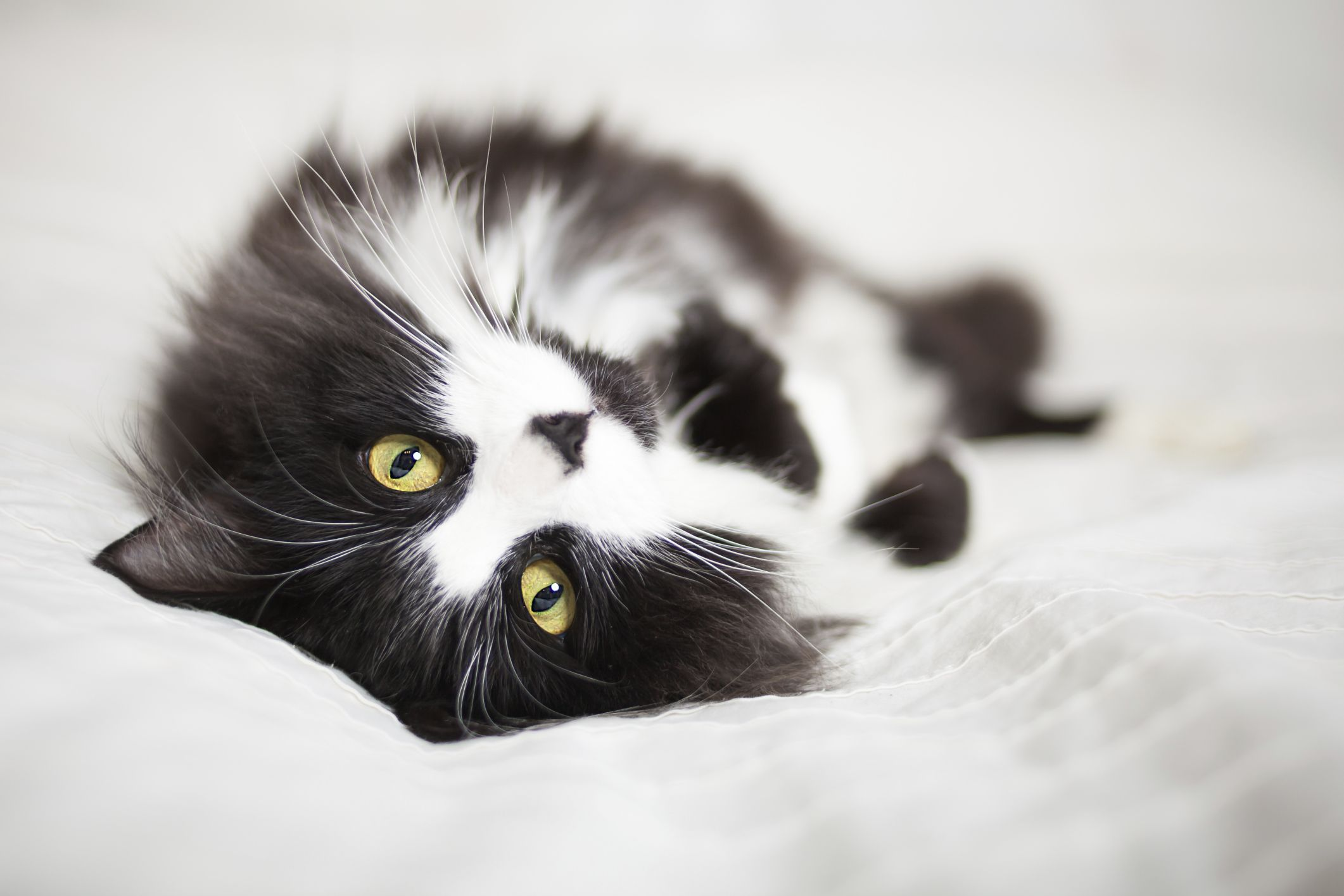 Even At Her Most Relaxed A Tuxedo Cat Always Has A Formal Air About Her White Cat Breeds Black Cat Breeds American Shorthair Cat