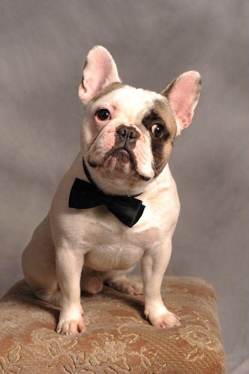 Gentleman Buddy Doggy Bulldog Animals