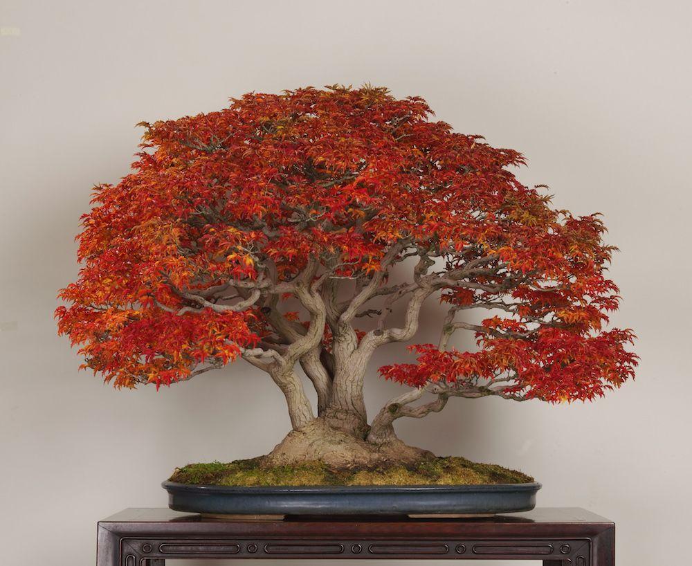 Shishigashira japanese maple in november photo by the for Famous bonsai trees