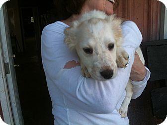 Harrisburg Pa Labrador Retriever Spaniel Unknown Type Mix Meet Delta A Puppy For Adoption Http Puppy Adoption Labrador Retriever Mix Labrador Retriever
