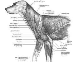 「dog muscle anatomy」的圖片搜尋結果