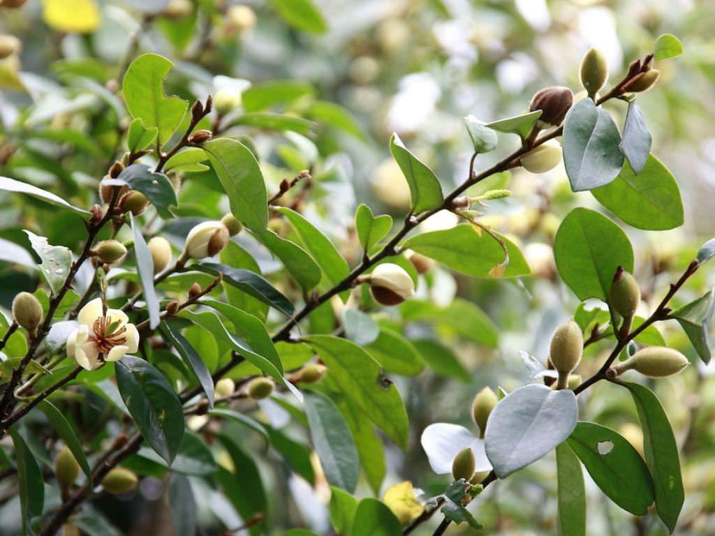 Magnolia Figo Banana Shrub World Of Flowering Plants Planting Flowers Shrubs Magnolia