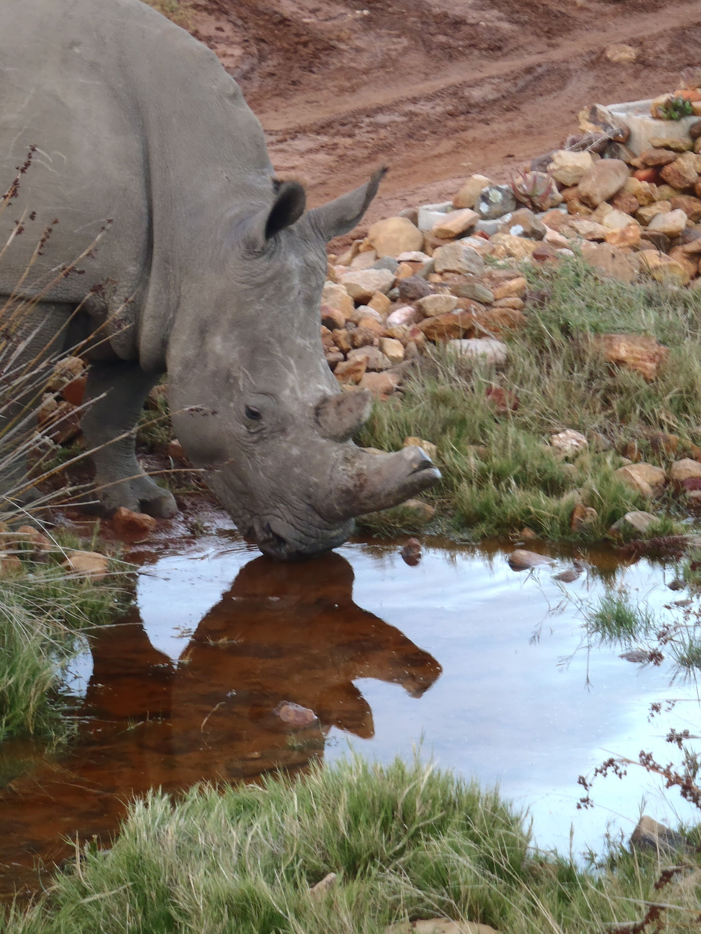 Rhino stopping for a drink. Garden Route Game Lodge