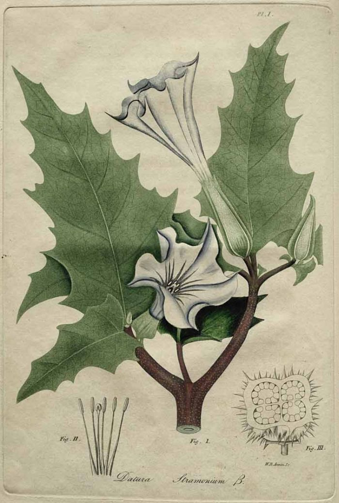 Datura Stramonium, American Medical Botany, Jacob Bigelow