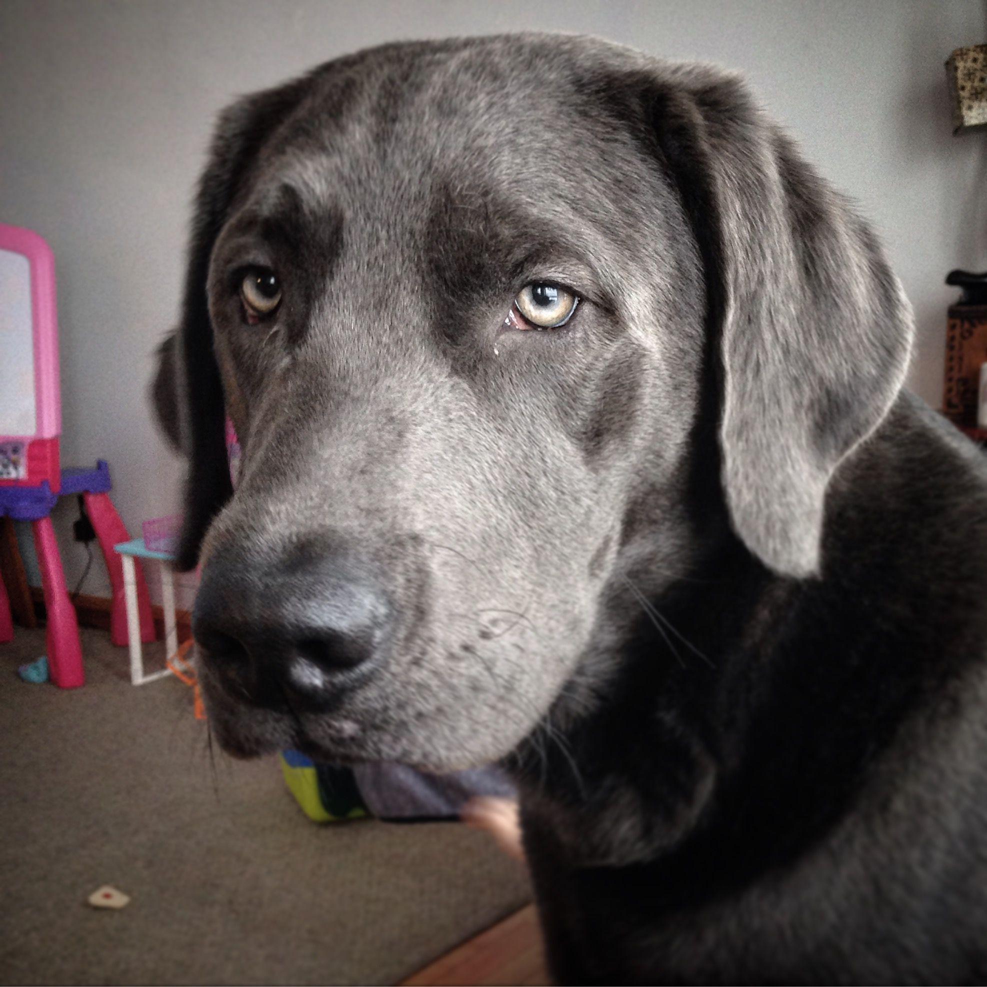My Charcoal Labrador Storm 3 Charcoallab Dilutelab Charcoal Labrador Labrador Labrador Retriever