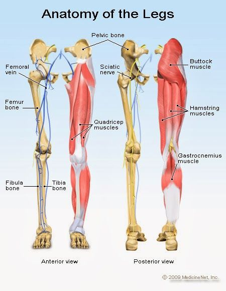 Human&Animal Anatomy and Physiology Diagrams: Anatomy of Legs ...