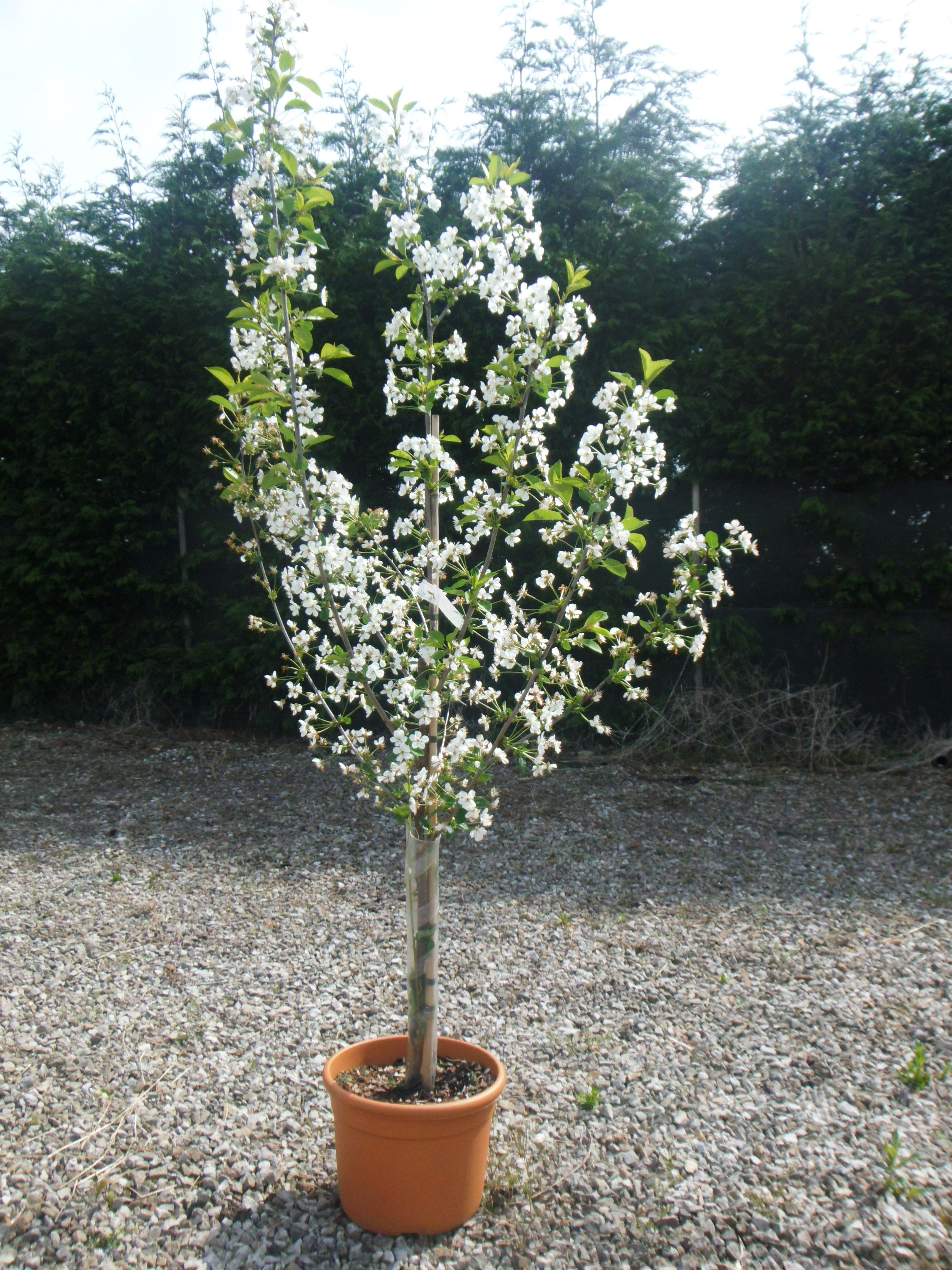 Pin By Fruit Trees Direct On Cherry Trees Small Trees Cherry Tree Fruit Trees