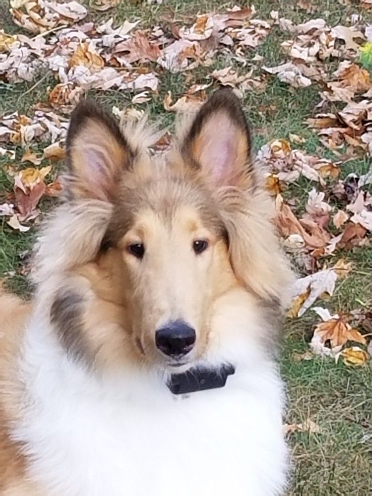 Rough Collie 6 Months Old Sheltie Dogs Beautiful Dogs Rough