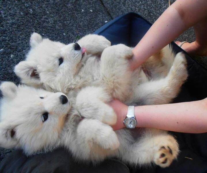 Cool Samoyed Chubby Adorable Dog - 5c1c4729512a3cb77ace88b4e3acf6b9  Picture_271345  .jpg