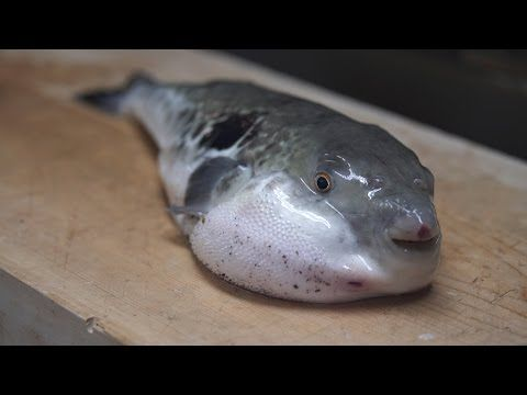 Watch A Japanese Chef Prepare A Meal Of Poisonous Pufferfish In Japan Fugu Or Pufferfish Is An Unlikely Delicacy The F Fish Tokyo Restaurant Puffer Fish