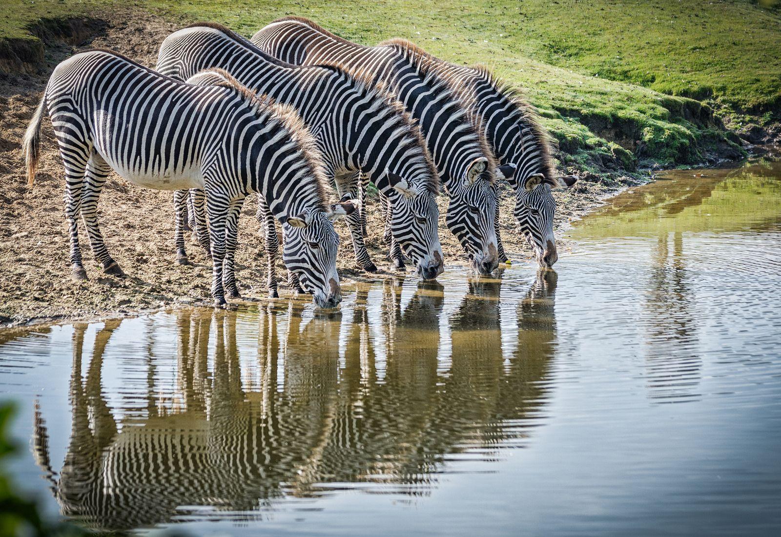 https://flic.kr/p/ARiSJZ | Grevyzebras / Grévy's Zebras | Grevyzebras im Safaripark Beekse Bergen.  Grévy's Zebras, Safaripark Beekse Bergen.