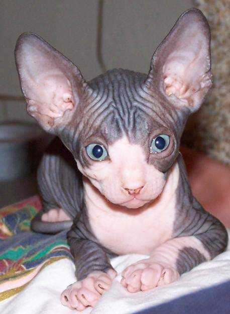 How Much Are Sphynx Cats Google Search Kitten Adoption Sphynx Cat Sphynx Kittens For Sale