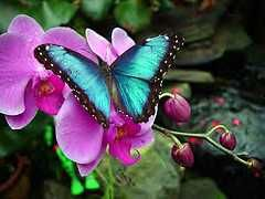 The Blue Morpho is a very beautiful butterfly.