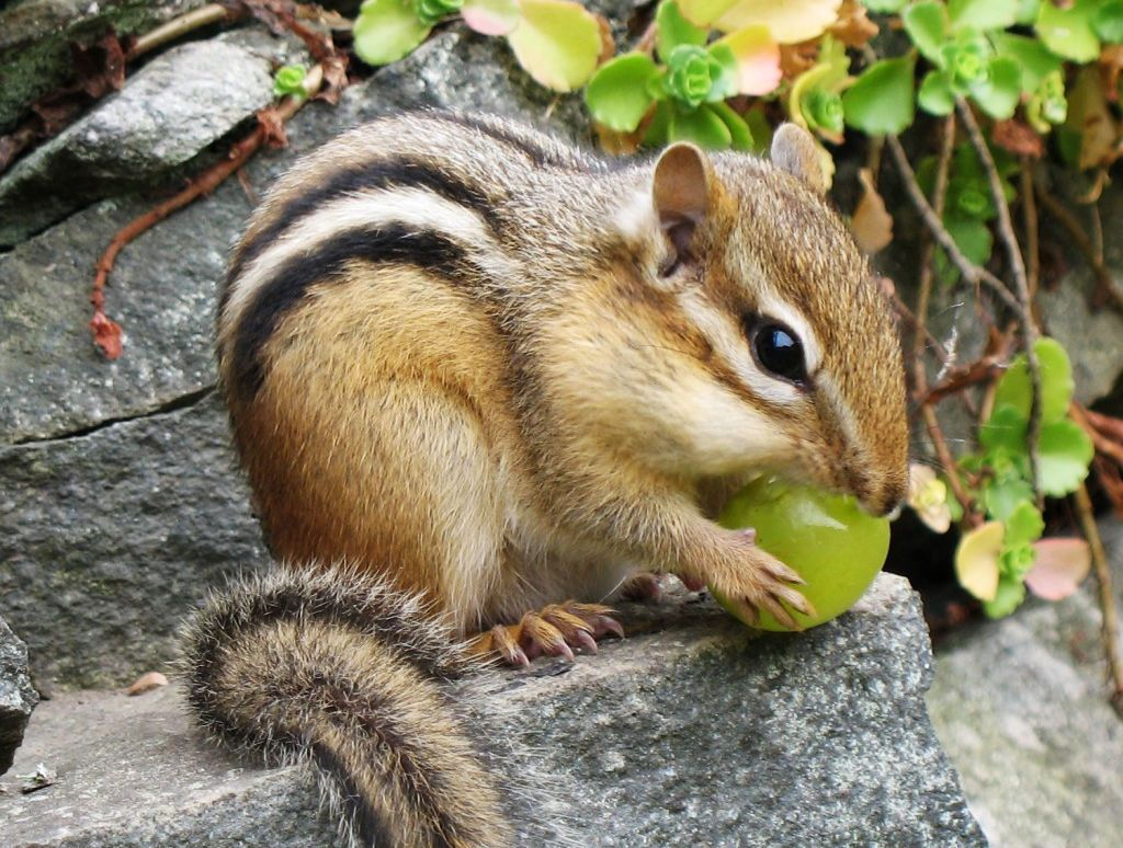 Eastern Chipmunk jigsaw puzzle in Macro puzzles on