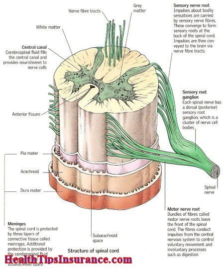 Structure of spinal cord spinal cord pinterest spinal cord structure of spinal cord ccuart Gallery