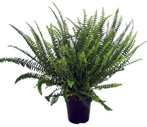 kimberly queen fern clean indoor air nephrolepis obliterata eco friendly house plants air. Black Bedroom Furniture Sets. Home Design Ideas