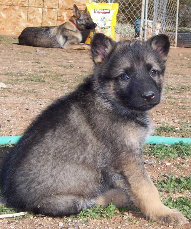 6 Week Old Brown And Grey German Shepherd Puppy Images Puppies