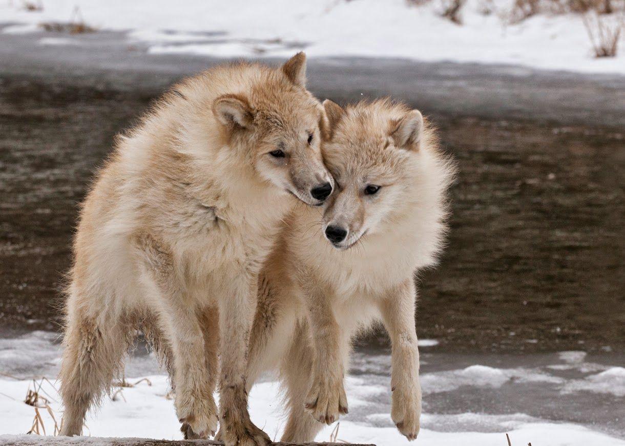 блюда белые волки пара картинки меркьюри это один