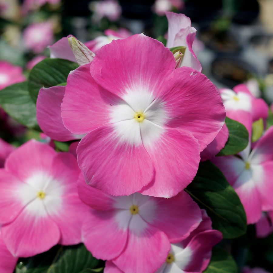 Mega Bloom Pink Halo Vinca Seeds Flowers Pinterest Seeds