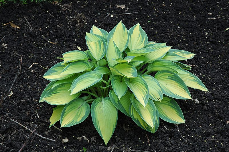 bachmans garden center. Find June Hosta (Hosta \u0027June\u0027) In Brainerd Baxter Little Falls Aitkin Nisswa Mille Minnesota MN At Landsburg Landscape Nursery (Plantain Lily, Funkia) Bachmans Garden Center