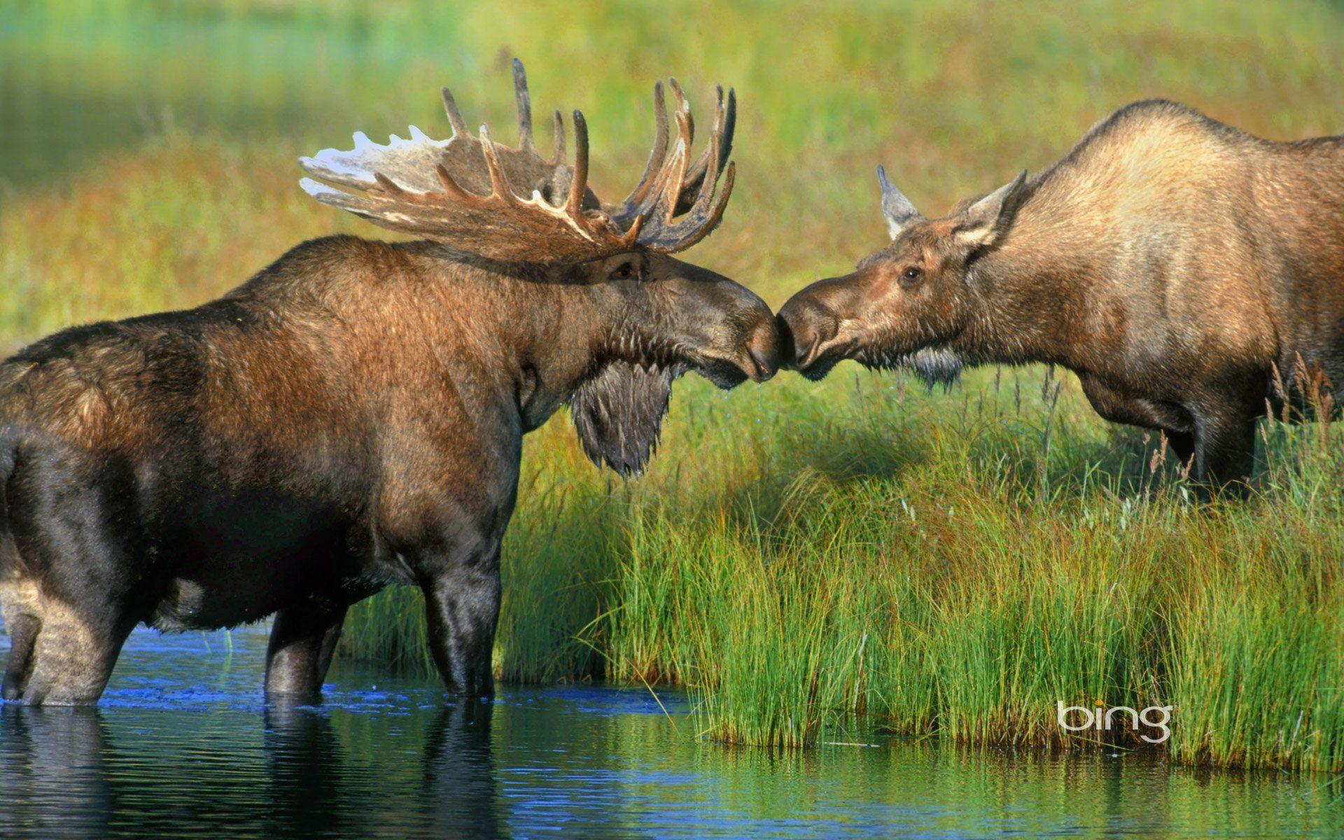 50 Moose Hd Wallpapers Backgrounds Wallpaper Abyss Moose Pictures Moose Animal Animal Wallpaper