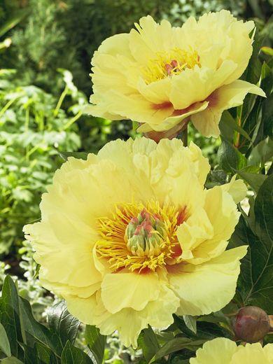 Peony Garden Treasure Paeonia Peonie Tulipani